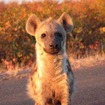 050 hyena portrait